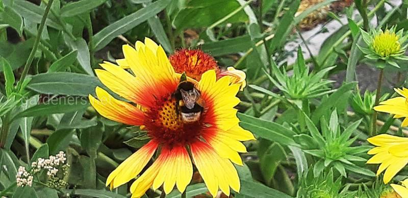 Гайлардія — мила квітуча рослина, яка залучає корисних комах у сад!