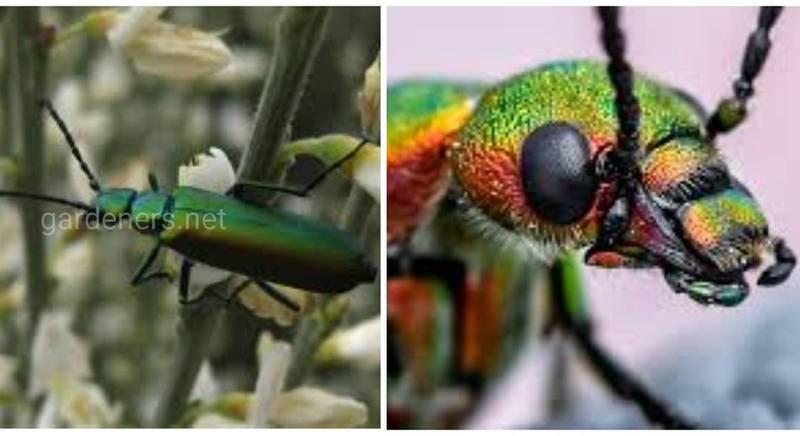 Шпанская мушка - жук, экстракт из которых является одновременно афродизиаком, средством для повышения потенции и мощным ядом