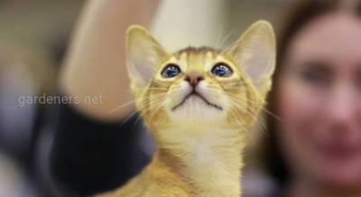 Абиссинская кошка.jpg