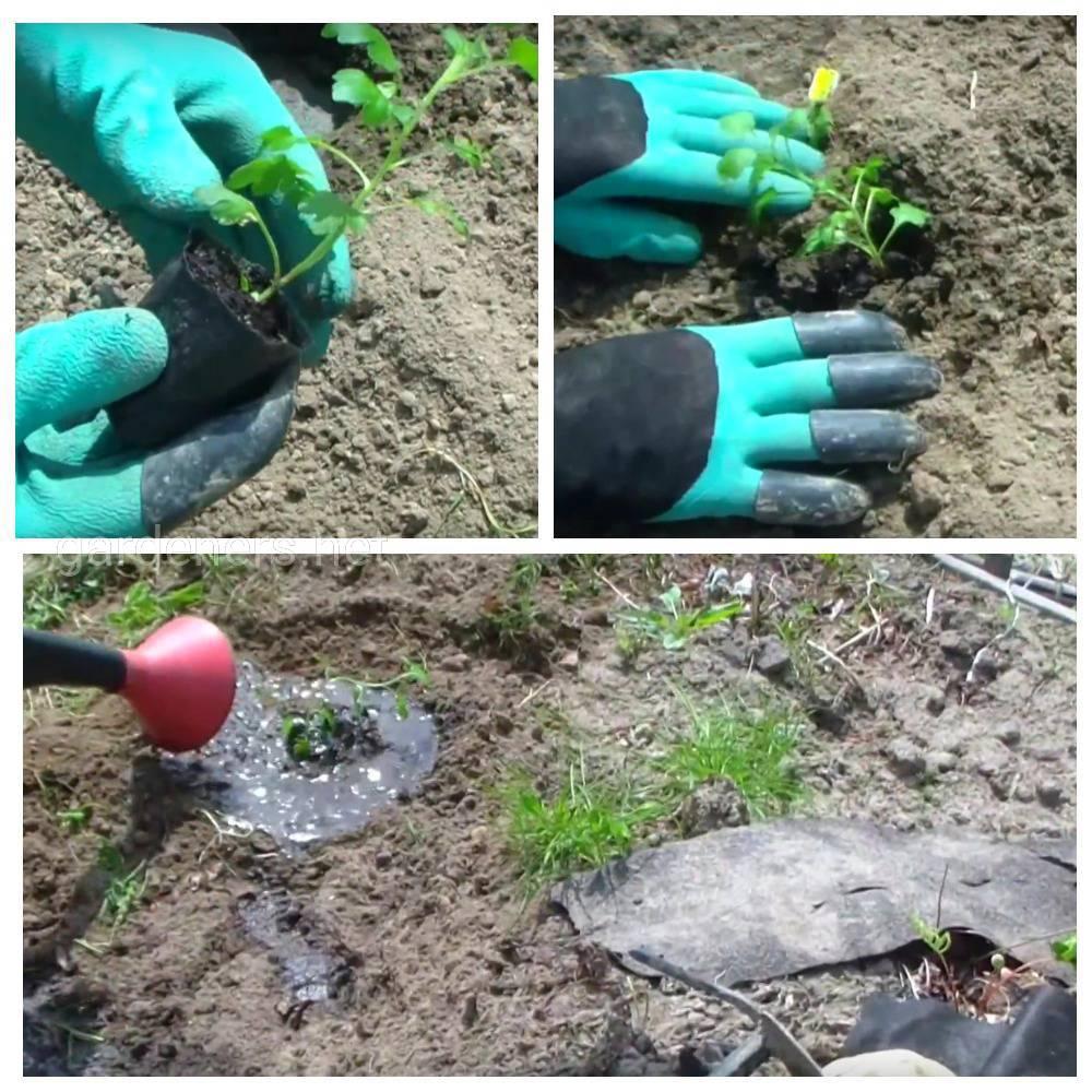 Правила посадки хризантемы