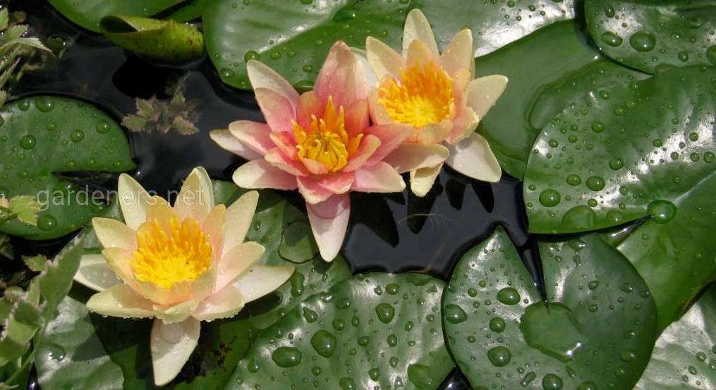 прудовые растения
