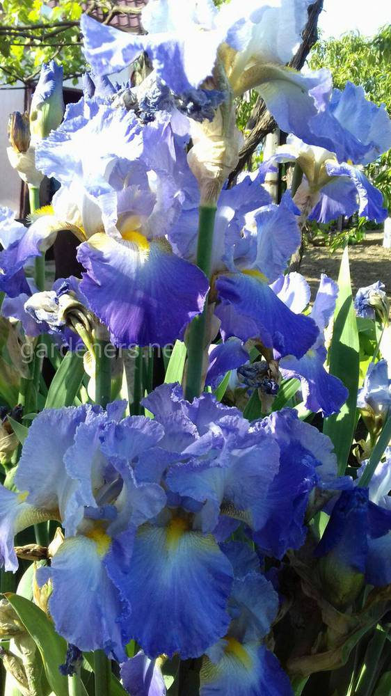 Ирисы или iris