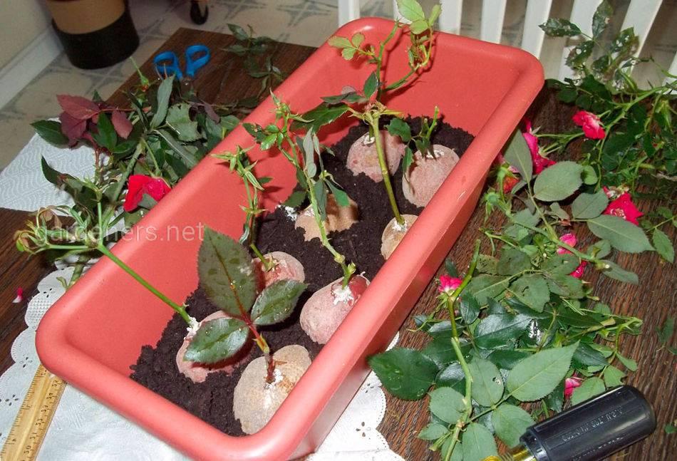 Розмноження троянд в картоплі