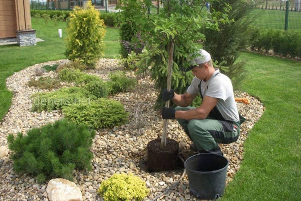 садим дерево