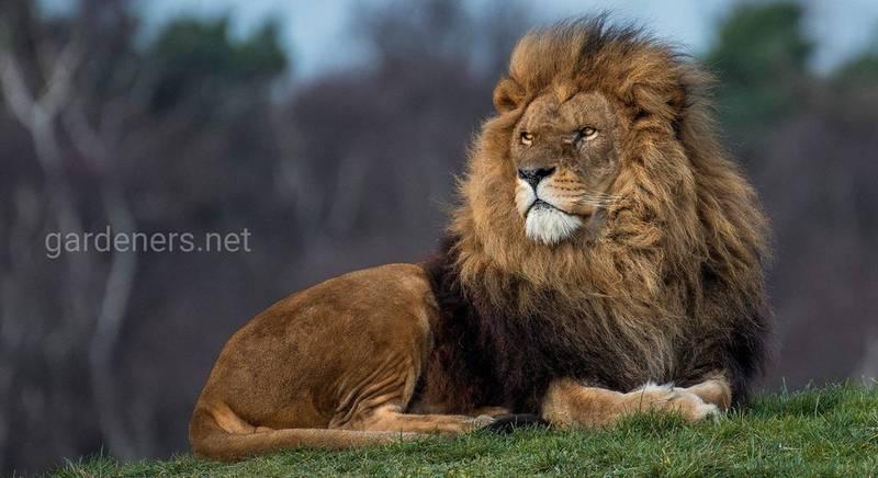 9 интересных фактов о львах