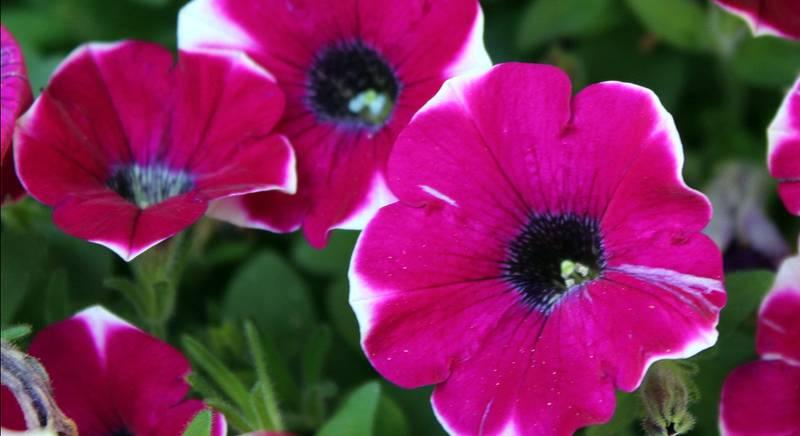 Петуния с огромными цветами - гигантская петунья