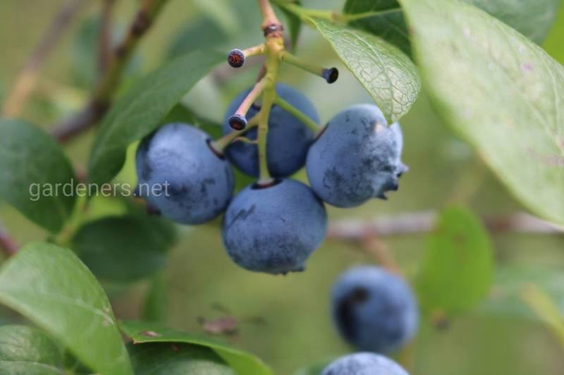 Лохина звичайна - не алергійна ягода з винятково корисними властивостями