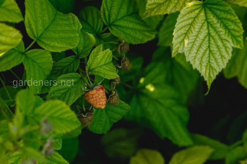 Як правильно підготувати землю до посадки малини?