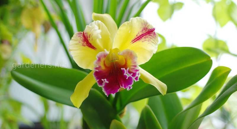 Уход за орхидеей Каттлеей. Где поставить Каттлею в доме