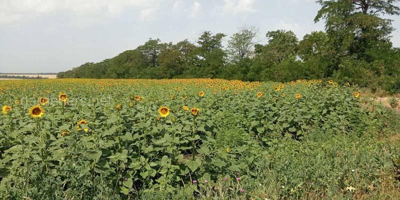 Как правильно орошать посевы и бороться с сорняками подсолнуха?