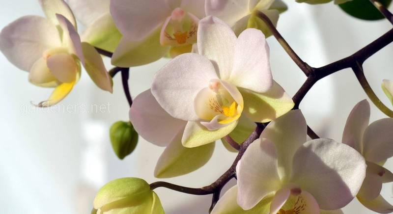 Захоплення орхідеями: поради по догляду