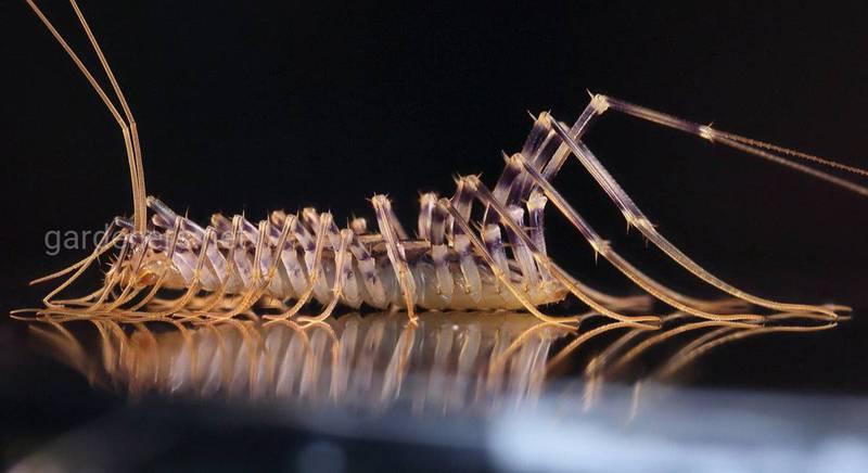 Скутігера або мухоловка звичайна: чим стонога корисна для людини
