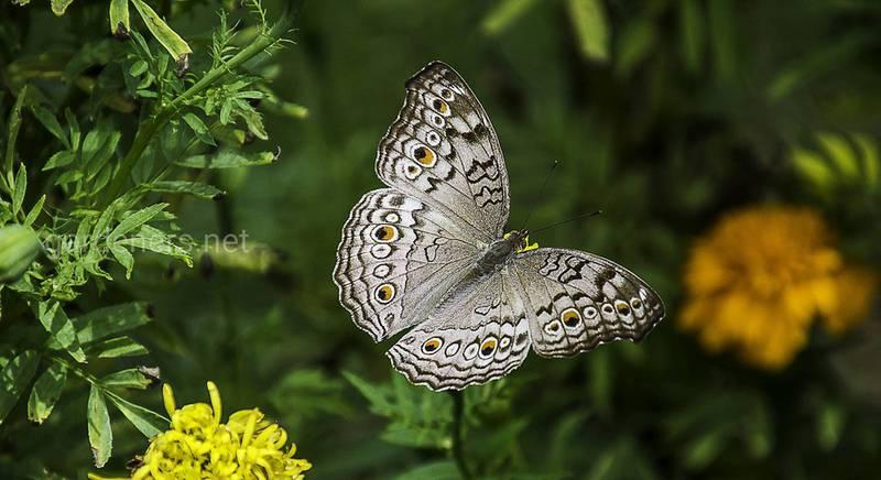 Как привлечь бабочек на свой участок