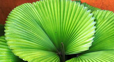 пальма ликуала.jpg