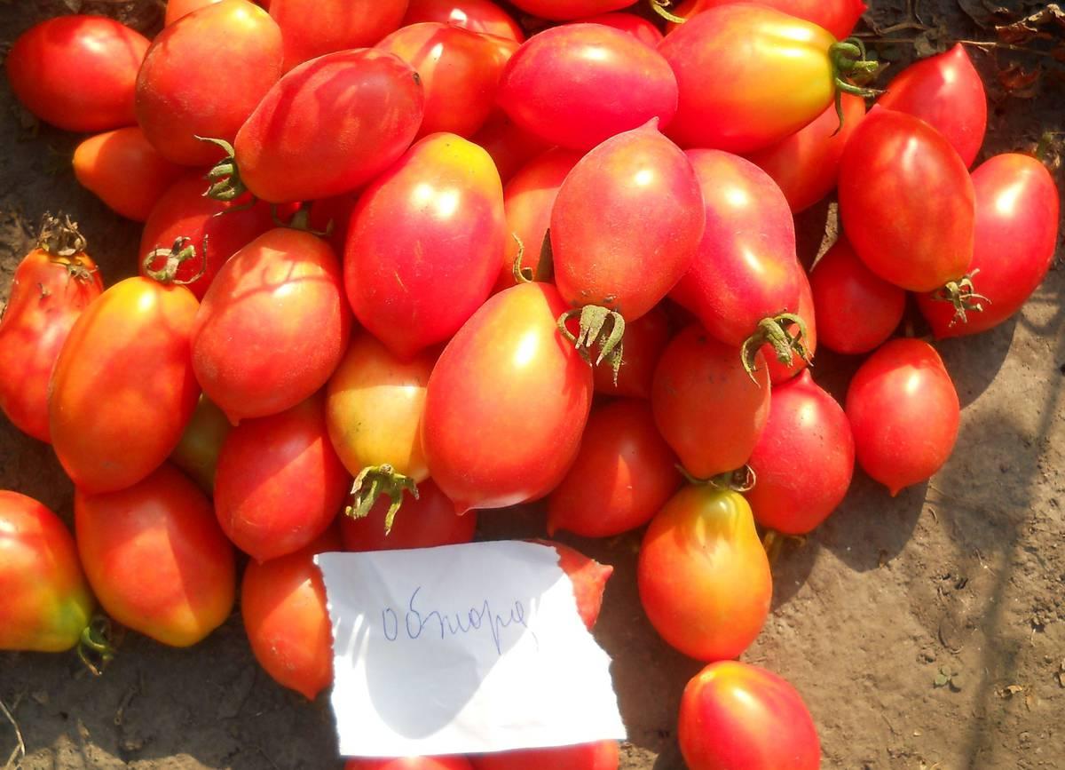 Сорт томата Обжора