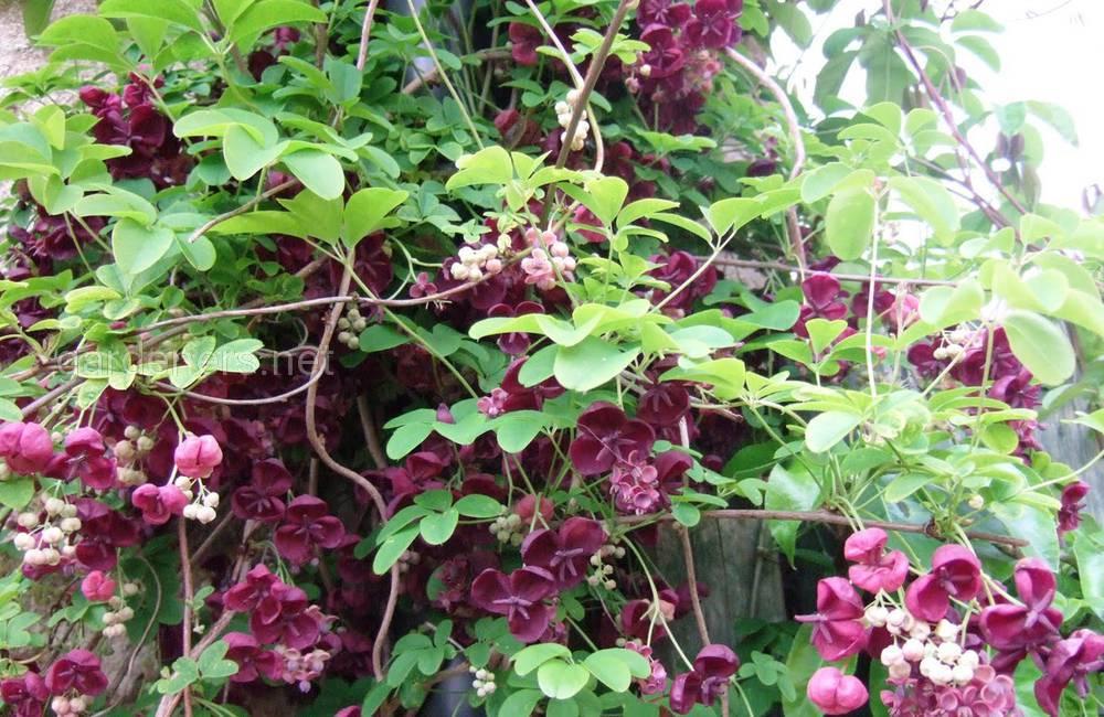 цветение лианы акебии