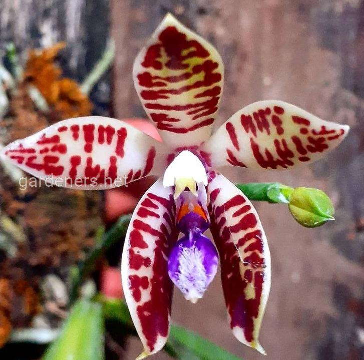 Phalaenopsis Corning