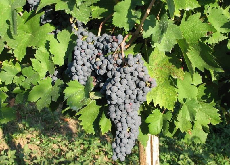 Виноград сорт Бастардо