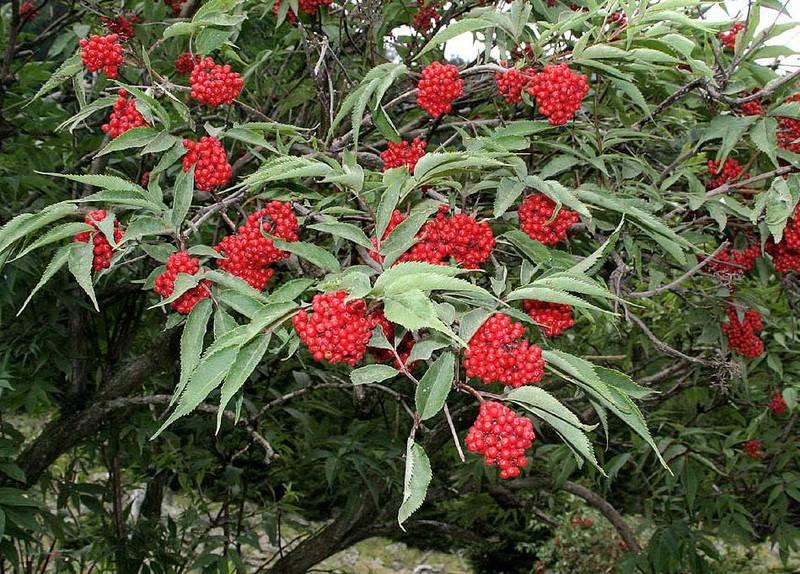 Червона бузина (Sambucus racemosa)