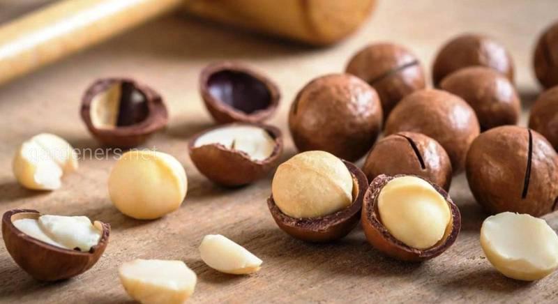 Калорийный австралиец: чем полезен орех макадамия