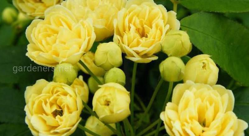 Описание сорт роз - роза лютеа плена.