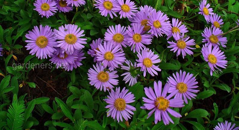 Осенние многолетники: пять видов цветов, которые зацветают даже у начинающих цветоводов