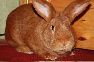 Бургундская порода кролей