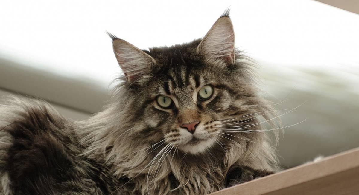 порода кошек больших размеров мейн