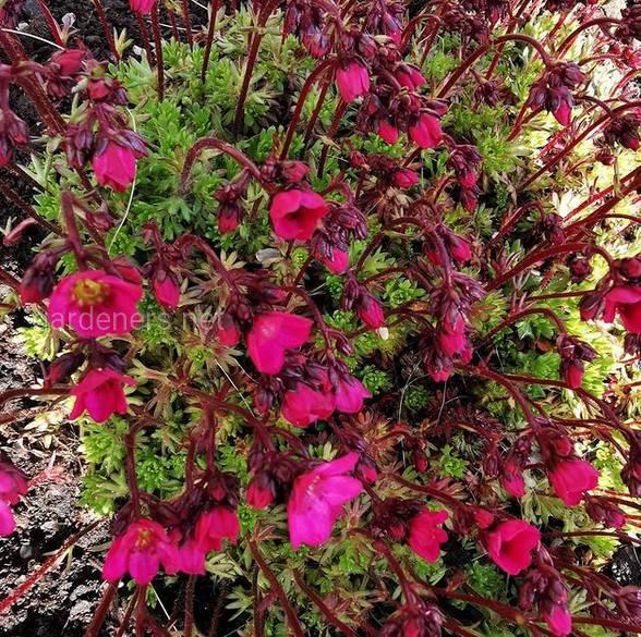 Saxifraga × arendsi