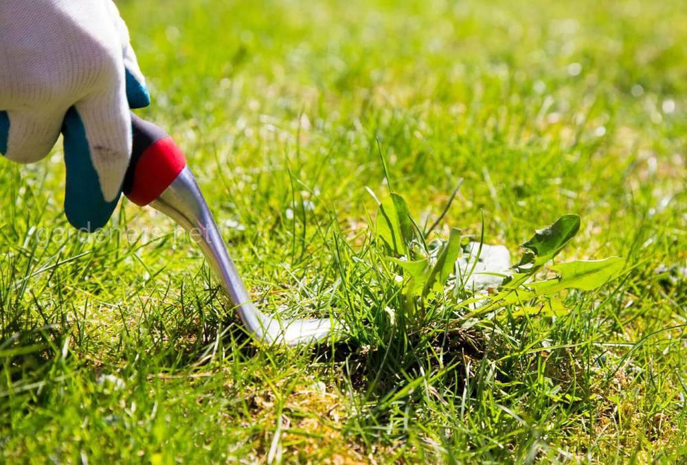 удаляем сорняки с газона