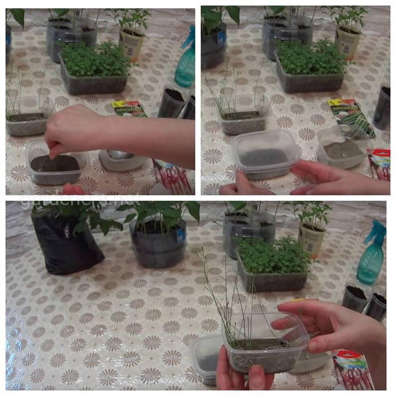 Как выращивать, собирать и  хранить спаржу?