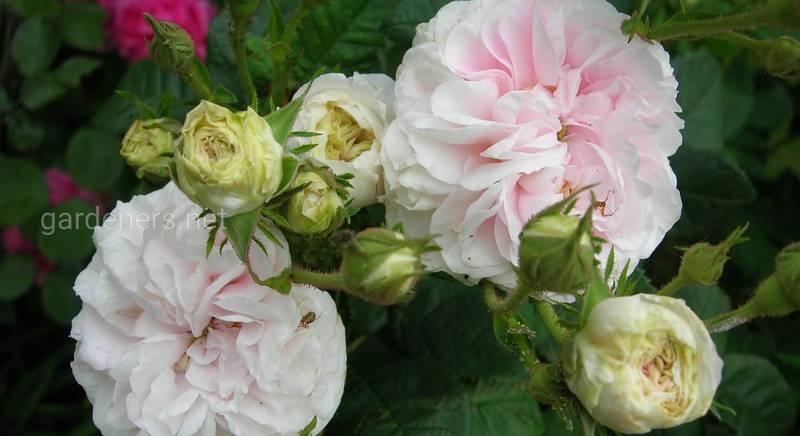 Старинные розы Alba: топ-7 популярных сортов