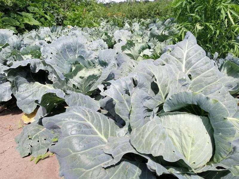 Устойчивость сорняков к гербицидам - глобальная угроза производству растений!