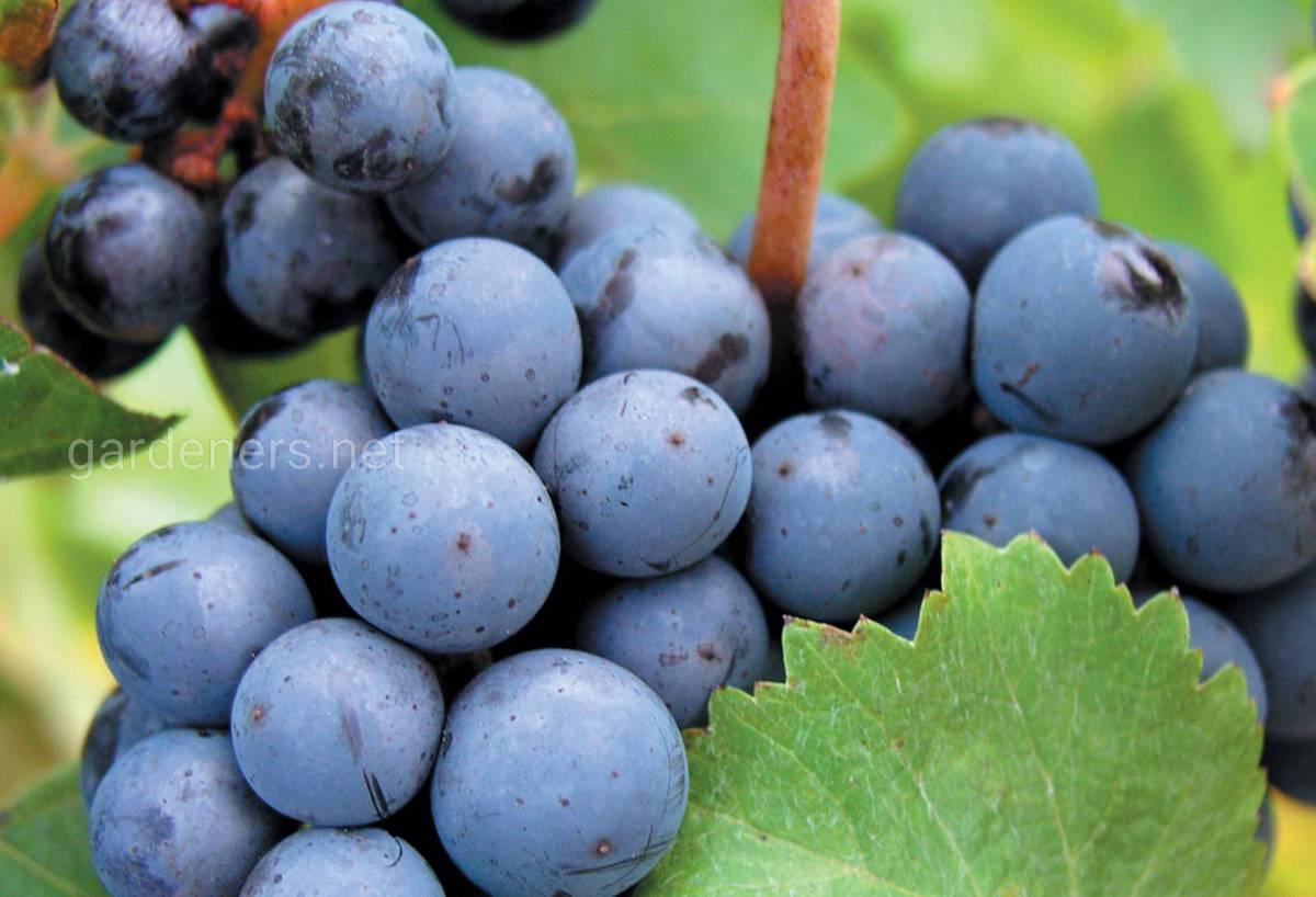 Сорт винограда для вина Каберне Совиньон