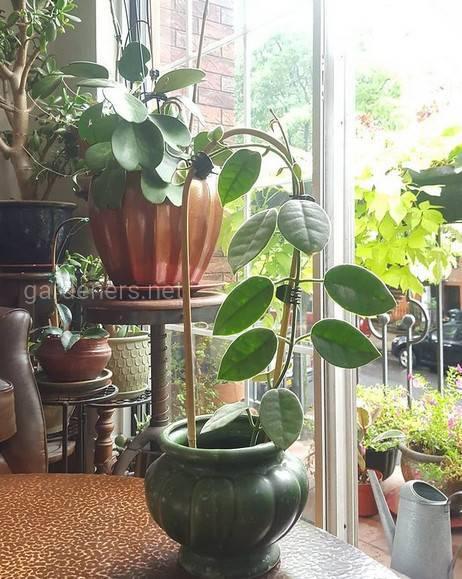 Hoya lauterbachii