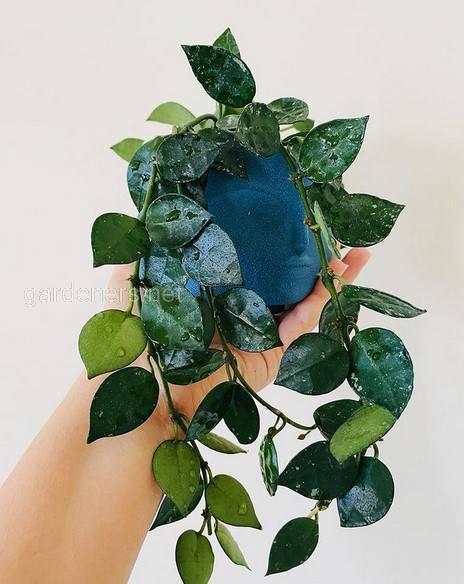 Hoya hybrid