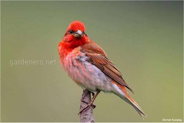 Птица Чечевица, или красный воробей