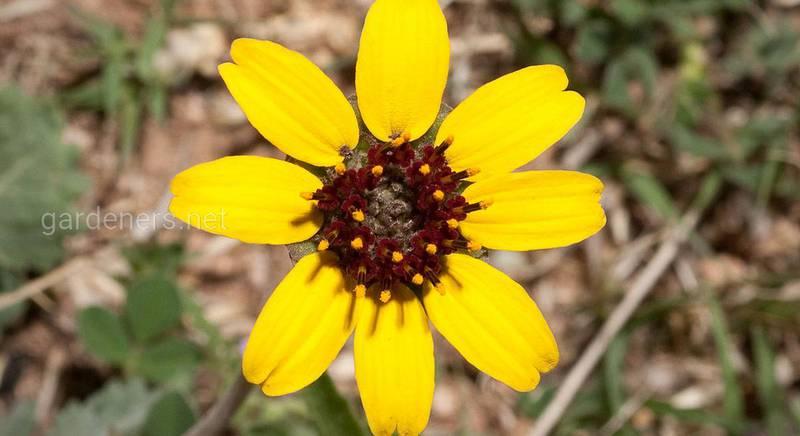 Берландиера или шоколадный цветок: виды ароматного и причудливого растения
