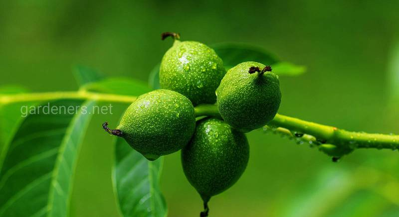 Настоянки та лікери на зелених волоських горіхах — нескладні рецепти та поради з приготування