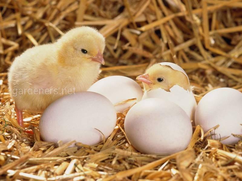 Чому кури клюють та їдять яйця?
