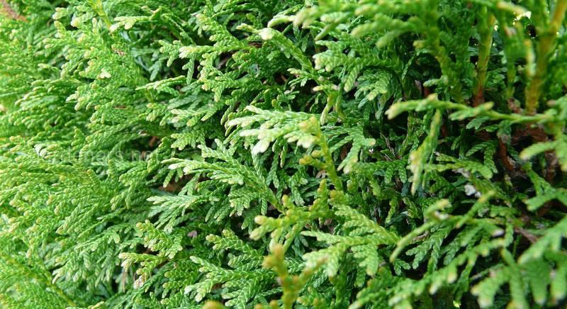 Зимой и летом одним цветом, или хвойная живая изгородь на участке