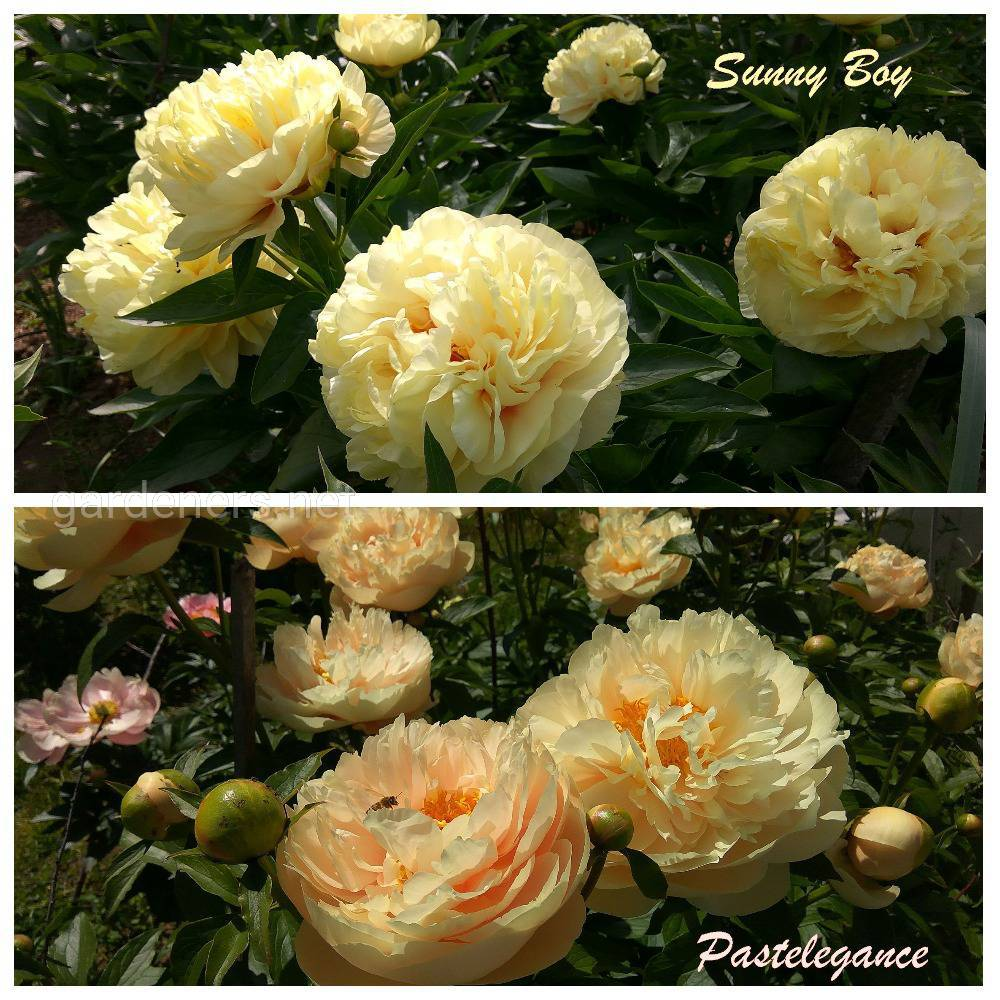 Sunny Boy and Pastelegance