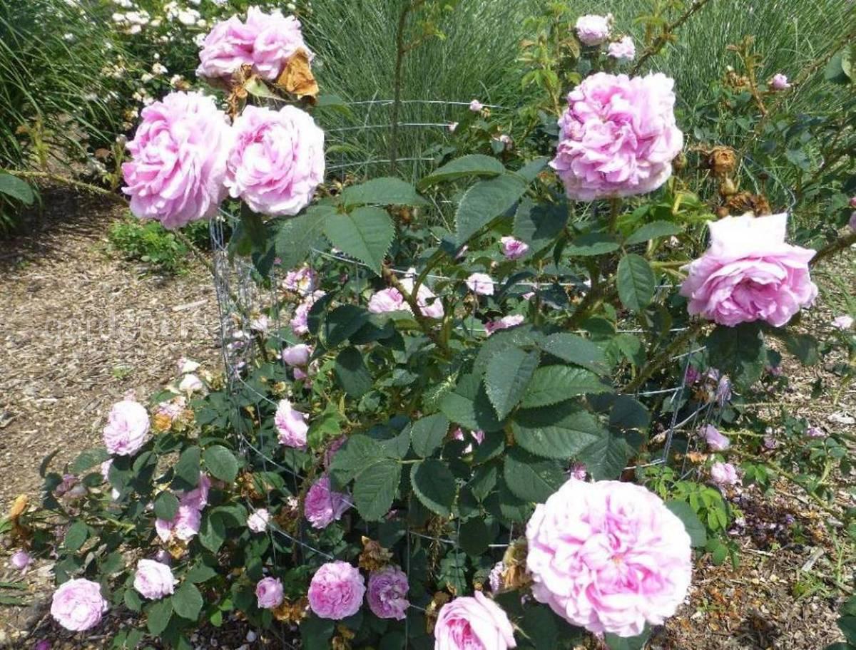 Роза Konigin von Danemark