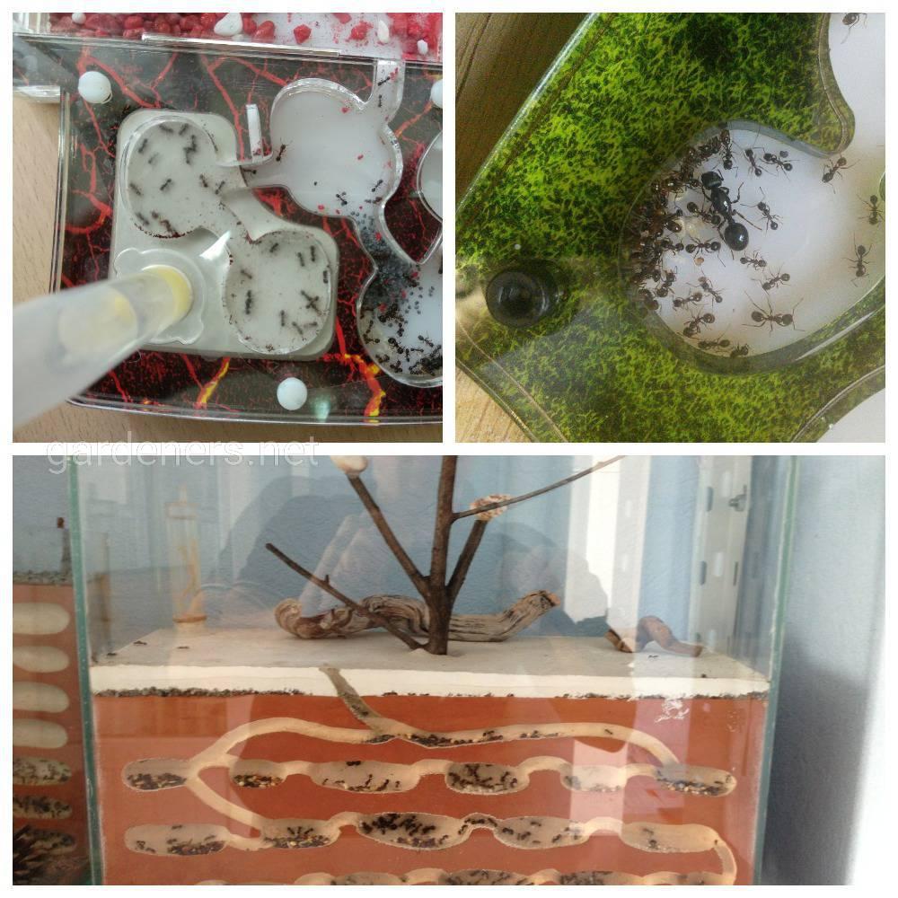 Выращивание муравьев