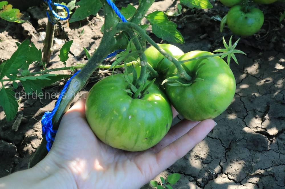 Ботанічний опис томату