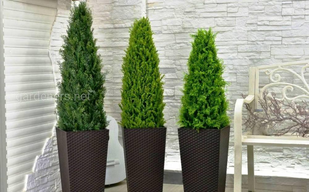 Удобрение кадочных деревьев