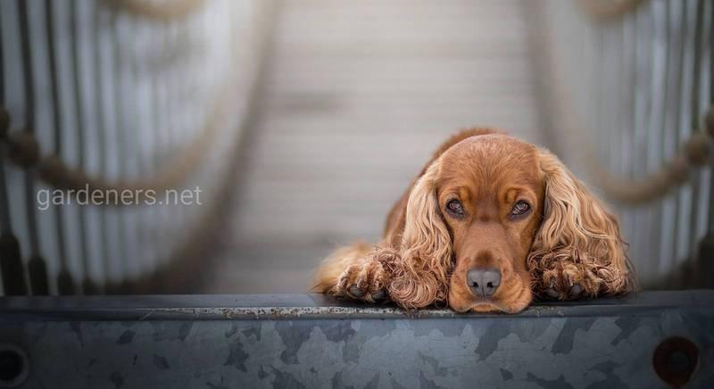 Вибираємо породу собаки для розведення