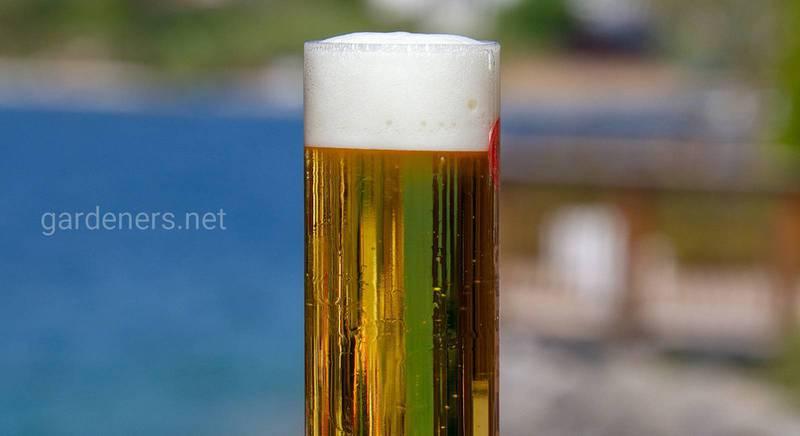 імбирне пиво