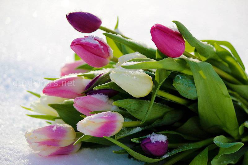 Топ-8 цікавих фактів про тюльпани