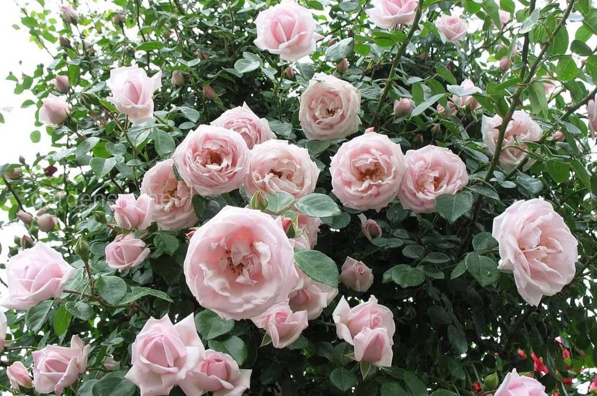 Сорт штамбовой розы Нью Доун